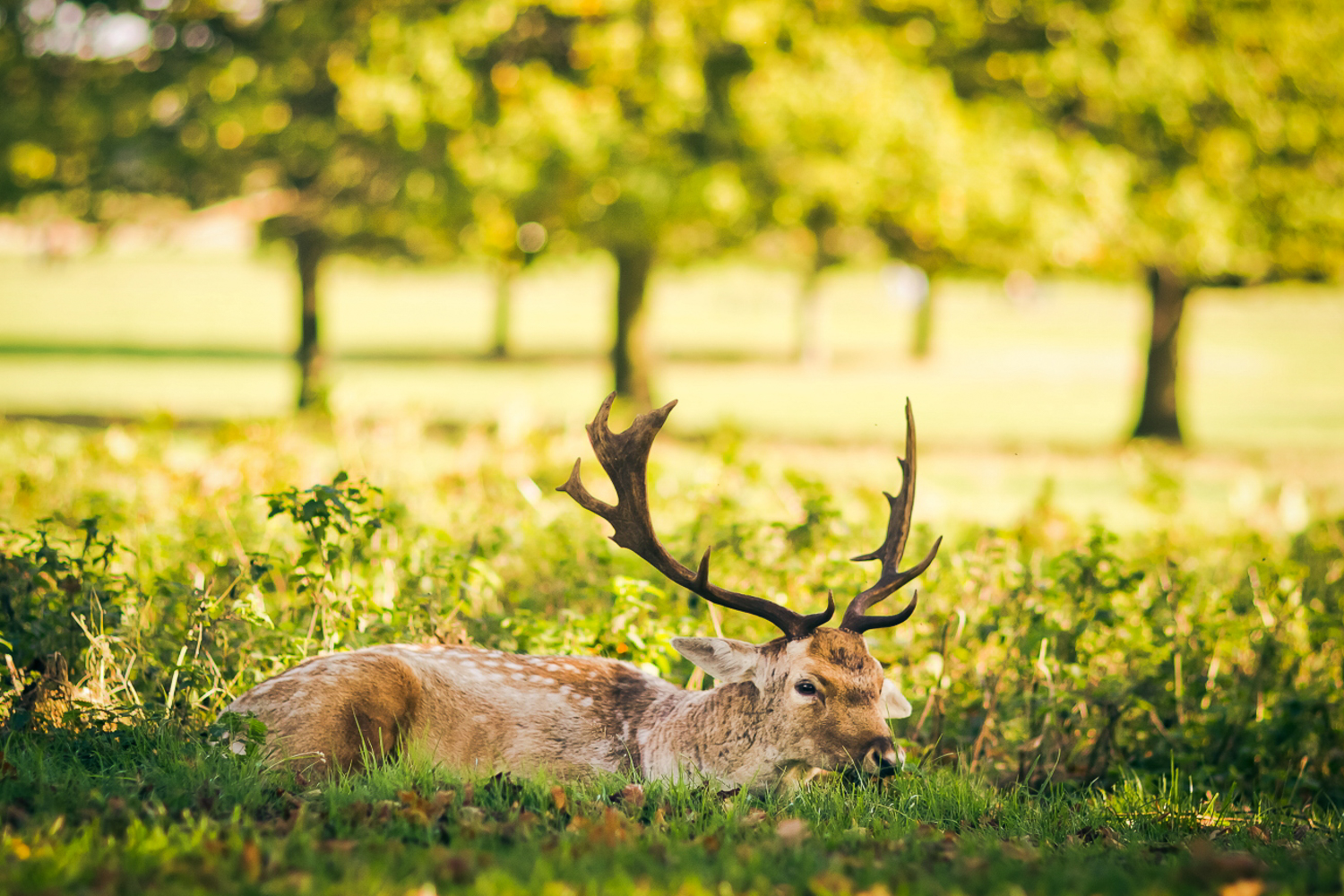 A chilled out deer with big antlers in Richmond Park